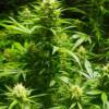 Public Meetings Regarding Marijuana Licensing, Tracking and Environmental Impact Report