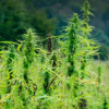 Will we see HEMP cultivation begin in 2018?