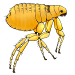 Fleas cause Bubonic plague