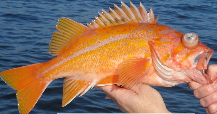 Yahoo anglers can retain canary rockfish in 2017 for California fishing season 2017